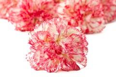 blomma nejlikapink Arkivbilder