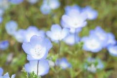 Blomma Nemophila på kullen / Bakgrund av blåa blommor Arkivfoto