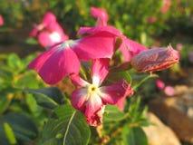 Blomma nytt och vissna blomman, Vinca Royaltyfri Fotografi