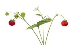 Blomma och bär på jordgubbe isolerade filialer Royaltyfri Bild