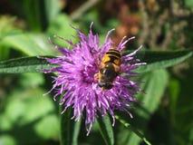 Blomma och Bee1 Fotografering för Bildbyråer