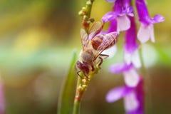 Blomma och bi för lilor för vårsommar lila Bi på en blomma Arkivfoto