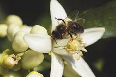 Blomma och bi för orange träd royaltyfri bild