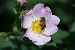 Blomma och bi för vårsommarros Bi på en blomma Fotografering för Bildbyråer