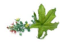 Blomma och blad av svängbart hjulväxten Royaltyfri Bild