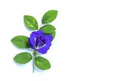 Blomma och blad för blå ärta som isoleras på vit bakgrund royaltyfri foto