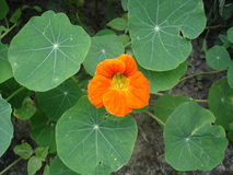 Blomma och blad för indiankrasse en orange Royaltyfri Foto