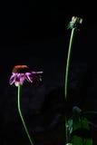 Blomma och blommaknopp Royaltyfri Bild