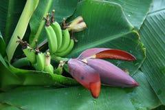 Blomma och en grupp av bananer Royaltyfria Foton