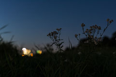Blomma och gräs konturn framme av sommarsolnedgången Royaltyfri Foto