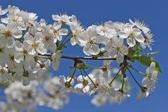 Blomma och himmel för körsbärsrött träd Arkivfoto