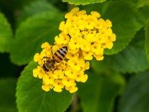 Blomma och Honey Bee på den interkontinentala semesterorten och det Spa hotellet i Papeete, Tahiti, franska Polynesien Royaltyfri Bild
