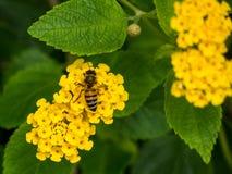 Blomma och Honey Bee på den interkontinentala semesterorten och det Spa hotellet i Papeete, Tahiti, franska Polynesien Royaltyfri Foto