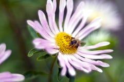 Blomma och honungsbi Fotografering för Bildbyråer