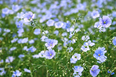 Blomma och knoppar av linväxten Arkivfoto