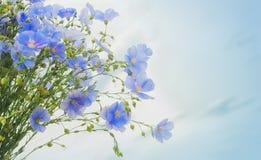Blomma och knoppar av linväxten Fotografering för Bildbyråer