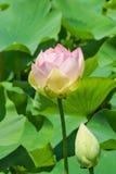 Blomma och knoppen av Lotus den orehonosny laten Nelumbonuciferaen är perenn örtartad art av amfibieväxter av släktet Royaltyfria Bilder