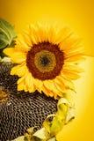 Blomma och läcker solros på en gul bakgrund Royaltyfri Foto