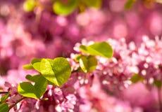 Blomma och Leaves för Judas Tree Arkivbild