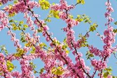 Blomma och Leaves för Judas Tree Arkivfoton