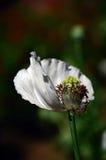 Blomma och rå kapselinsida av vallmon Royaltyfri Fotografi