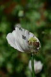 Blomma och rå kapselinsida av vallmon Arkivbild