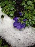 Blomma och snow Arkivfoton