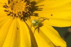 Blomma och spindel Arkivbild