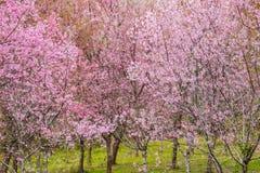 Blomma och träd för körsbärsröd blomning royaltyfri fotografi