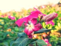 Blomma och vissna blomman, Vinca Arkivbild