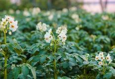 Blomma omogna potatisar royaltyfri foto