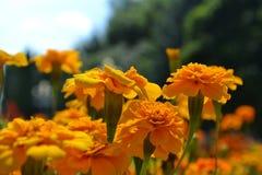 Blomma orange tagetes i solljus arkivbilder