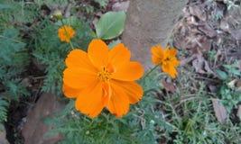 blomma orangen arkivbilder