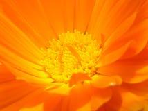 blomma orangen Royaltyfri Foto