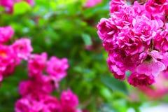 Blomma orangeribegonian arkivbild