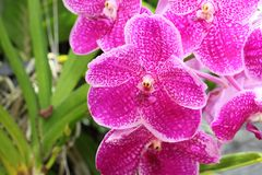 blomma orchid vanda royaltyfri foto