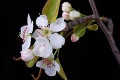 Blomma päronblomningar royaltyfri foto