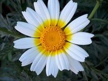 Blomma på den vita apelsinen och guling royaltyfri foto