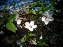 Blomma på ett träd av vit färg royaltyfri bild