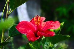 Blomma på Flores, Azores, Portugal royaltyfri foto