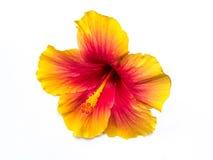 Blomma på isolerat Arkivfoton