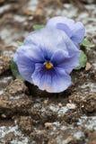 Blomma på smuts med snöflingan, slut upp, lodlinje Royaltyfri Foto