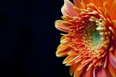 Blomma på svarten Fotografering för Bildbyråer