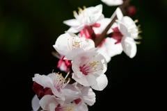 Blomma på våren Fotografering för Bildbyråer