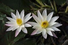 Blomma på vatten arkivbild