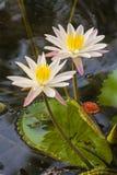 Blomma på vatten Royaltyfria Foton