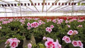 Blomma pelargon i ett stort modernt v?xthus Pelargonblomn?rbild Blommande pelargon i krukor E arkivfilmer