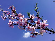 blomma persika arkivbild