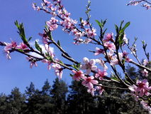 blomma persika royaltyfri bild