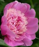 blomma pinken Arkivfoto